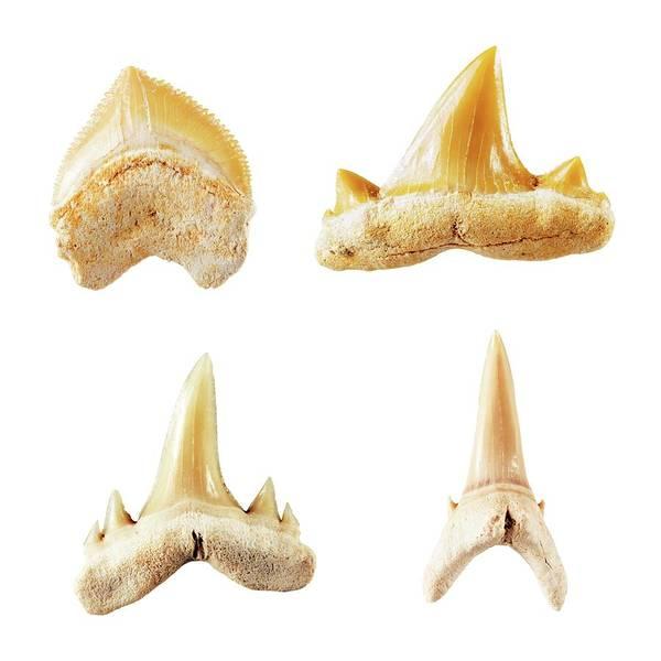 Wall Art - Photograph - Fossil Shark Teeth. by Geoff Kidd/science Photo Library