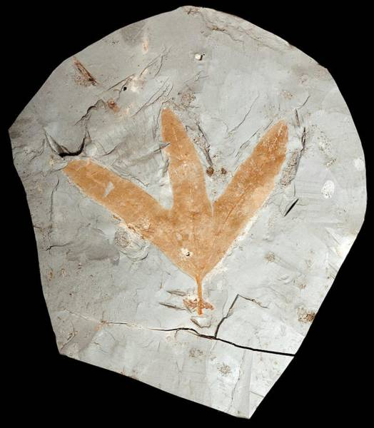 Wall Art - Photograph - Fossilised Leaf by Pascal Goetgheluck/science Photo Library