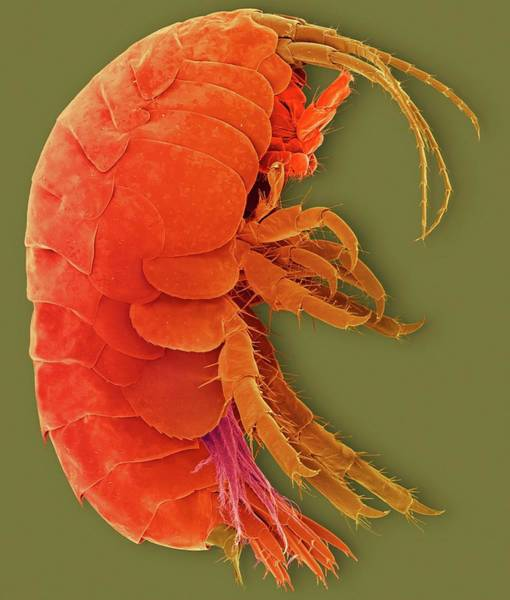 Wall Art - Photograph - Freshwater Amphipod Crustacean (gammarus Sp.) by Dennis Kunkel Microscopy/science Photo Library