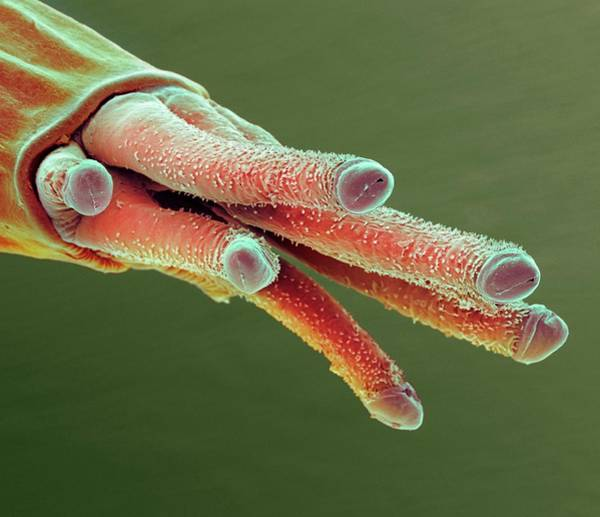 Midge Photograph - Fruit Fly Breathing Tube by Steve Gschmeissner/science Photo Library