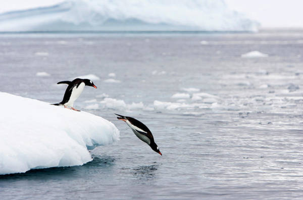Gentoo Wall Art - Photograph - Gentoo Penguins by William Ervin/science Photo Library
