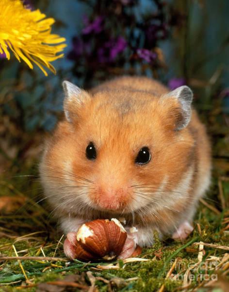 Golden Hamster Photograph - Golden Hamster by Hans Reinhard