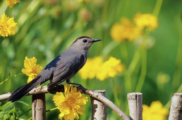 Backyard Bird Photograph - Gray Catbird (dumetella Carolinensis by Richard and Susan Day