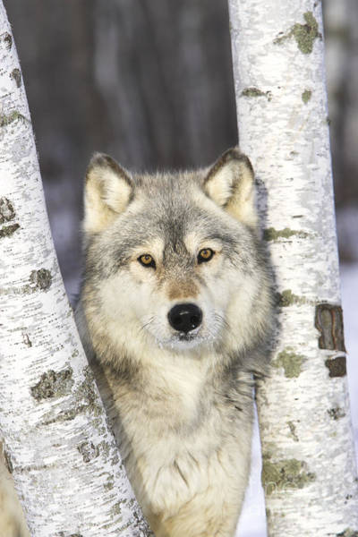 Timber Wolves Photograph - Gray Wolf, Canis Lupus by M. Watson