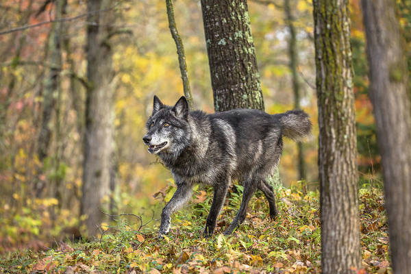 Wall Art - Photograph - Gray Wolf by Linda Arndt