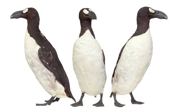 Alcidae Photograph - Great Auk by Natural History Museum, London