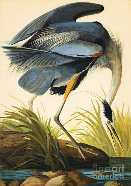 Drawing - Great Blue Heron by Celestial Images