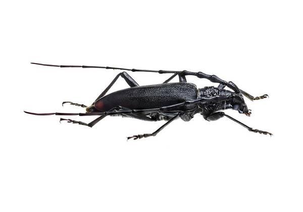 Arthropods Wall Art - Photograph - Great Capricorn Beetle by F. Martinez Clavel