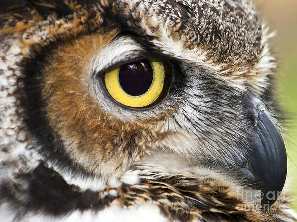 Photograph - Great Horned Owl by Jill Lang