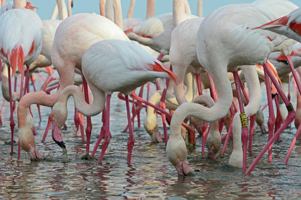 The Great Outdoors Photograph - Greater Flamingos by David Tipling