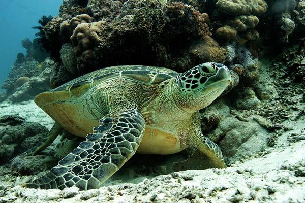 Turtle Photograph - Green Sea Turtle by Louise Murray
