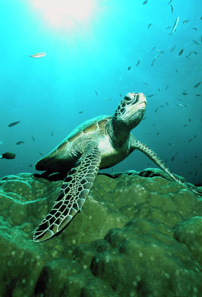 Wall Art - Photograph - Green Turtle by Matthew Oldfield/science Photo Library