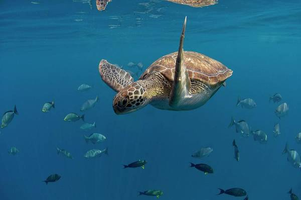Wall Art - Photograph - Green Turtle Swimming by Peter Scoones/science Photo Library