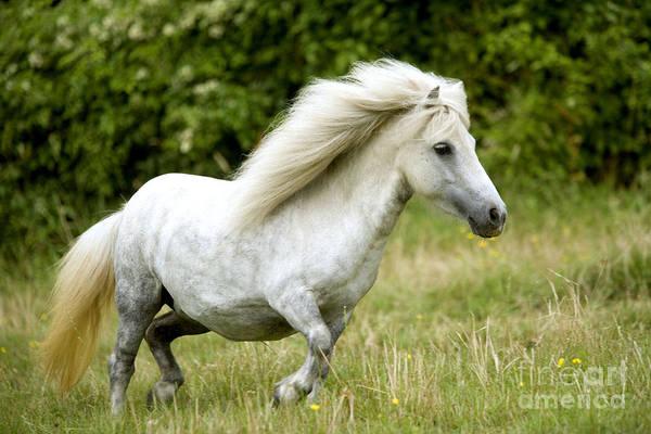 Photograph - Grey Pony by Jean-Michel Labat