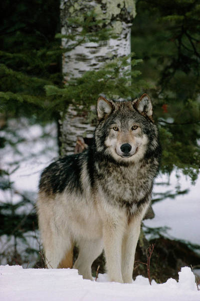 Wall Art - Photograph - Grey Wolf by William Ervin/science Photo Library