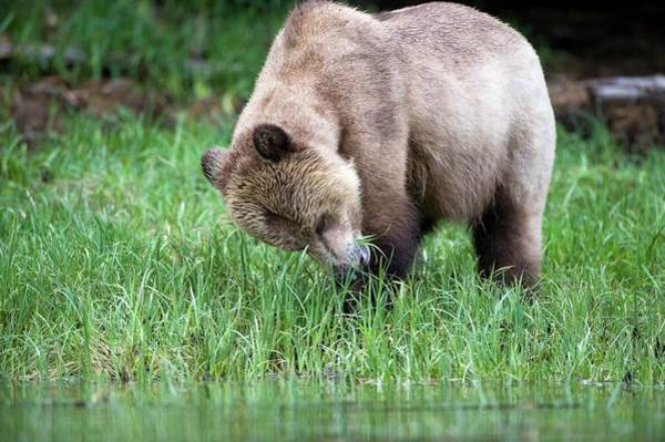 Grizzly Bears Photograph - Grizzly Bear by Dr P. Marazzi/science Photo Library