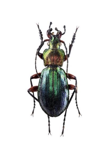 Arthropods Wall Art - Photograph - Ground Beetle by F. Martinez Clavel