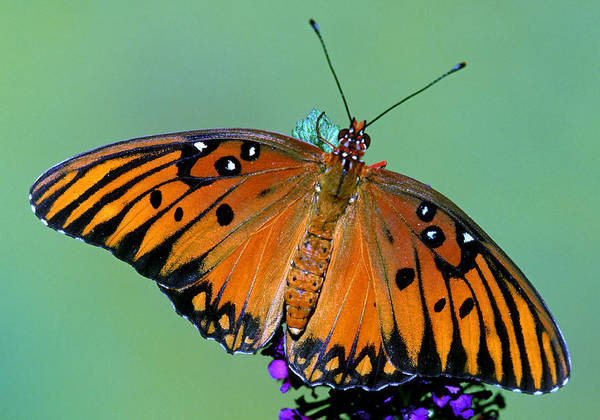 Wall Art - Photograph - Gulf Fritillary Butterfly by Millard Sharp