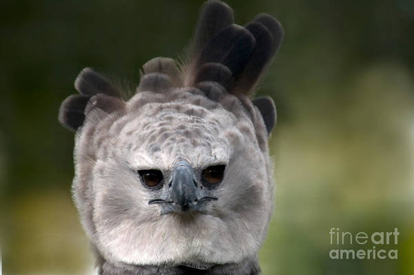 Falconiformes Photograph - Harpy Eagle Harpia Harpyja by Mark Newman