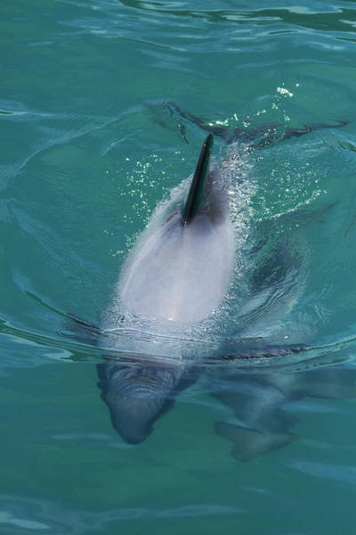 Wall Art - Photograph - Hector's Dolphin (cephalorhynchus by David Wall