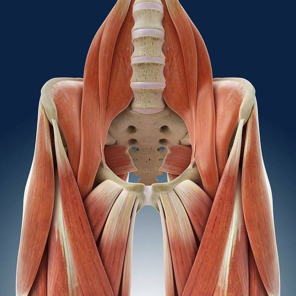 Wall Art - Photograph - Hip And Thigh Muscles by Springer Medizin/science Photo Library