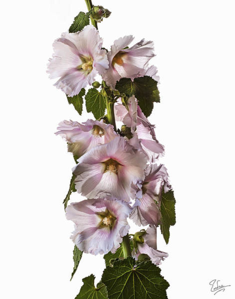 Photograph - Hollyhock by Endre Balogh