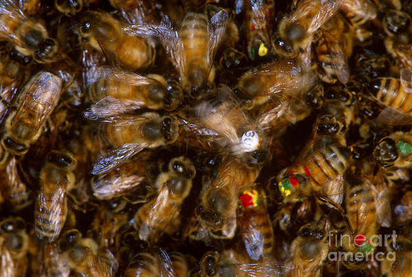 Pterygota Wall Art - Photograph - Honeybees by James L. Amos