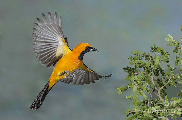Icterid Photograph - Hooded Oriole by Anthony Mercieca