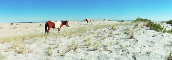 Assateague Island Photograph - Horses Grazing On Beach, Assateague by Animal Images