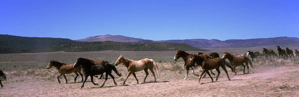 Wall Art - Photograph - Horses Running In A Field, Colorado, Usa by Animal Images
