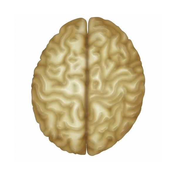 Cutout Wall Art - Photograph - Human Brain by Maurizio De Angelis/science Photo Library