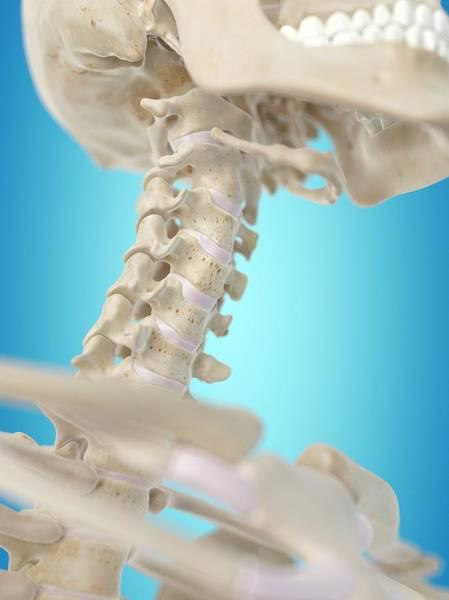 Biological Illustration Wall Art - Photograph - Human Cervical Spine by Sciepro