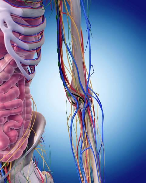 Wall Art - Photograph - Human Elbow Anatomy by Sebastian Kaulitzki/science Photo Library