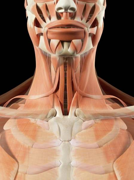 Musculoskeletal System Wall Art - Photograph - Human Neck Muscles by Sciepro
