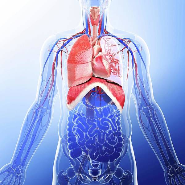 Thoracic Photograph - Human Respiratory System by Pixologicstudio