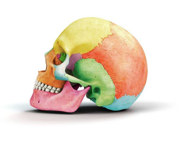 Temporal Bone Wall Art - Photograph - Human Skull by Mikkel Juul Jensen
