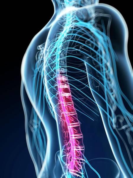 Lumbar Vertebra Photograph - Human Spinal Cord by Sebastian Kaulitzki