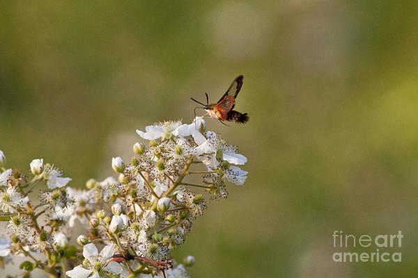 Hemaris Photograph - Hummingbird Clearwing Moth by Linda Freshwaters Arndt