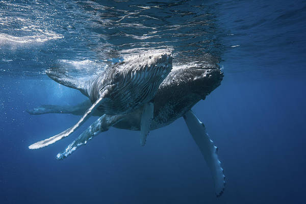 Pair Photograph - Humpback Whale by Barathieu Gabriel