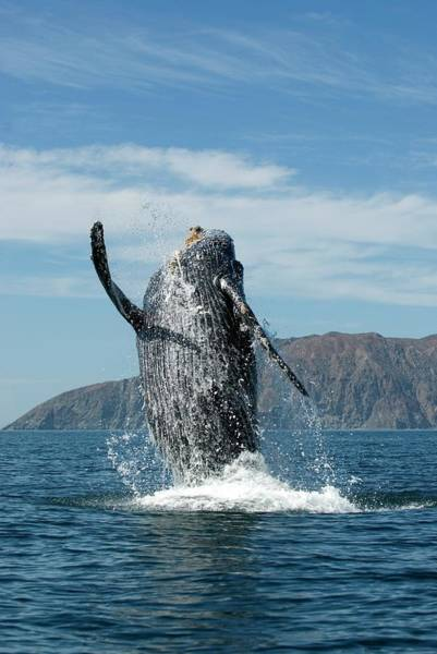 Santa Cruz Island Wall Art - Photograph - Humpback Whale by Christopher Swann/science Photo Library