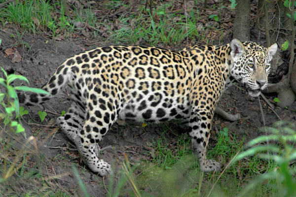Wall Art - Photograph - Jaguar Panthera Onca, Pantanal by Animal Images