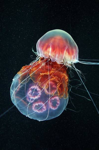 Lion's Mane Jellyfish Photograph - Jellyfish Feeding by Alexander Semenov