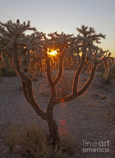 Photograph - Jumping Cholla by Jim West