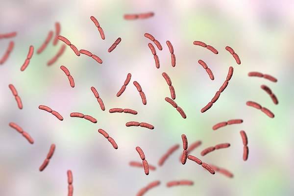 Wall Art - Photograph - Lactobacillus Crispatus Bacteria by Kateryna Kon/science Photo Library