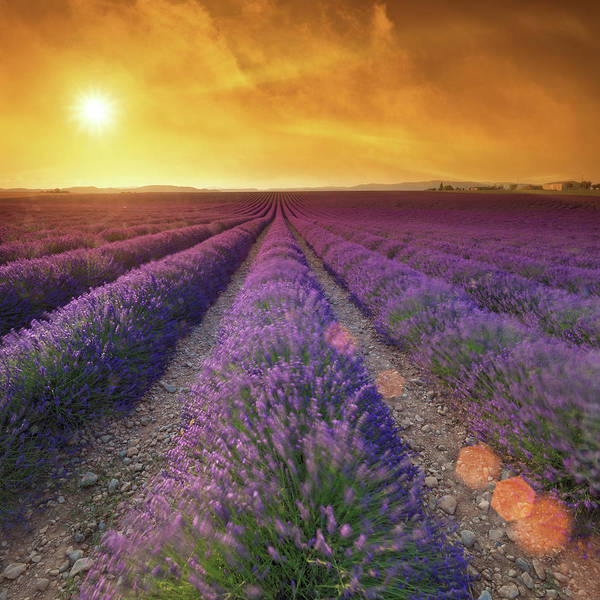 Photograph - Lavender Field At Sunset by Mammuth