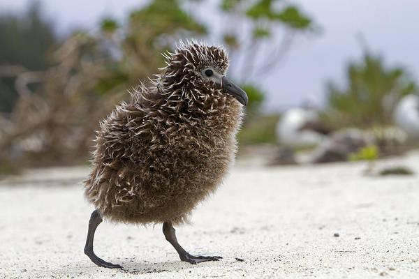 Photograph - Laysan Albatross Chick by M Watson