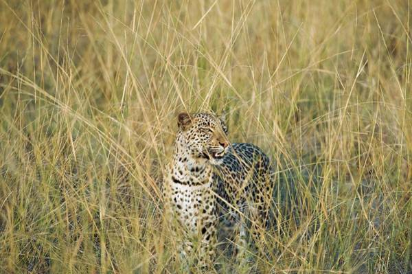 Panthera Pardus Photograph - Leopard by Dr P. Marazzi/science Photo Library
