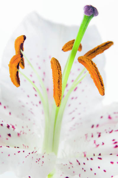 Stamens Photograph - Lily Flower Reproduction by Gustoimages/science Photo Library
