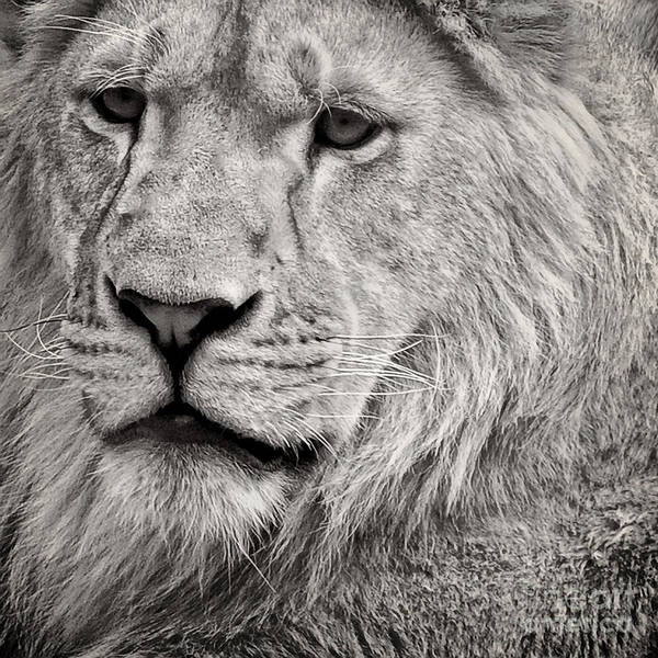 Wall Art - Photograph - Lion by HD Connelly