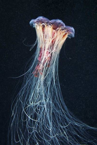 Lion's Mane Jellyfish Photograph - Lion's Mane Jellyfish by Science Photo Library